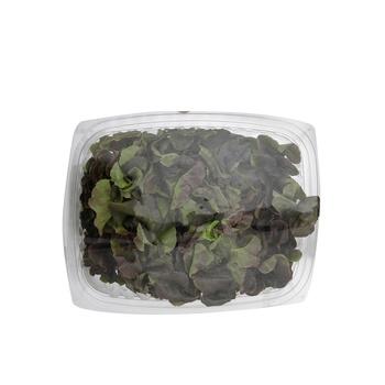 Live Lettuce Oak Leaf Red