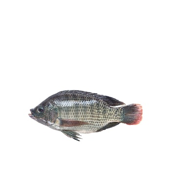 Tilapia fish egypt