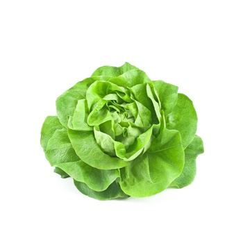 Boston Lettuce Holland