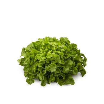 Lettuce Oakleaf Holland