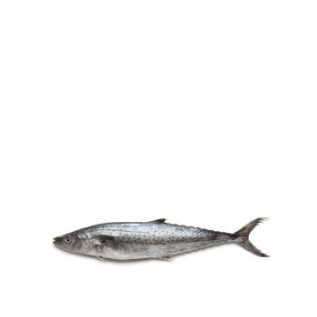 King Fish - Small