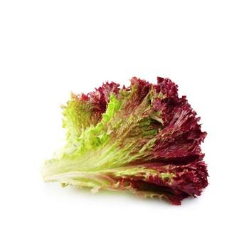 Lettuce Red Holland